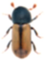 Trypodendron domesticum 1.jpg