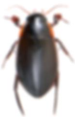 Dytiscus semisulcatus 1.jpg