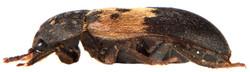 Dermestes lardarius 4