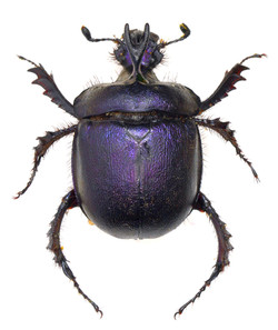 Enoplotrupes sharpi