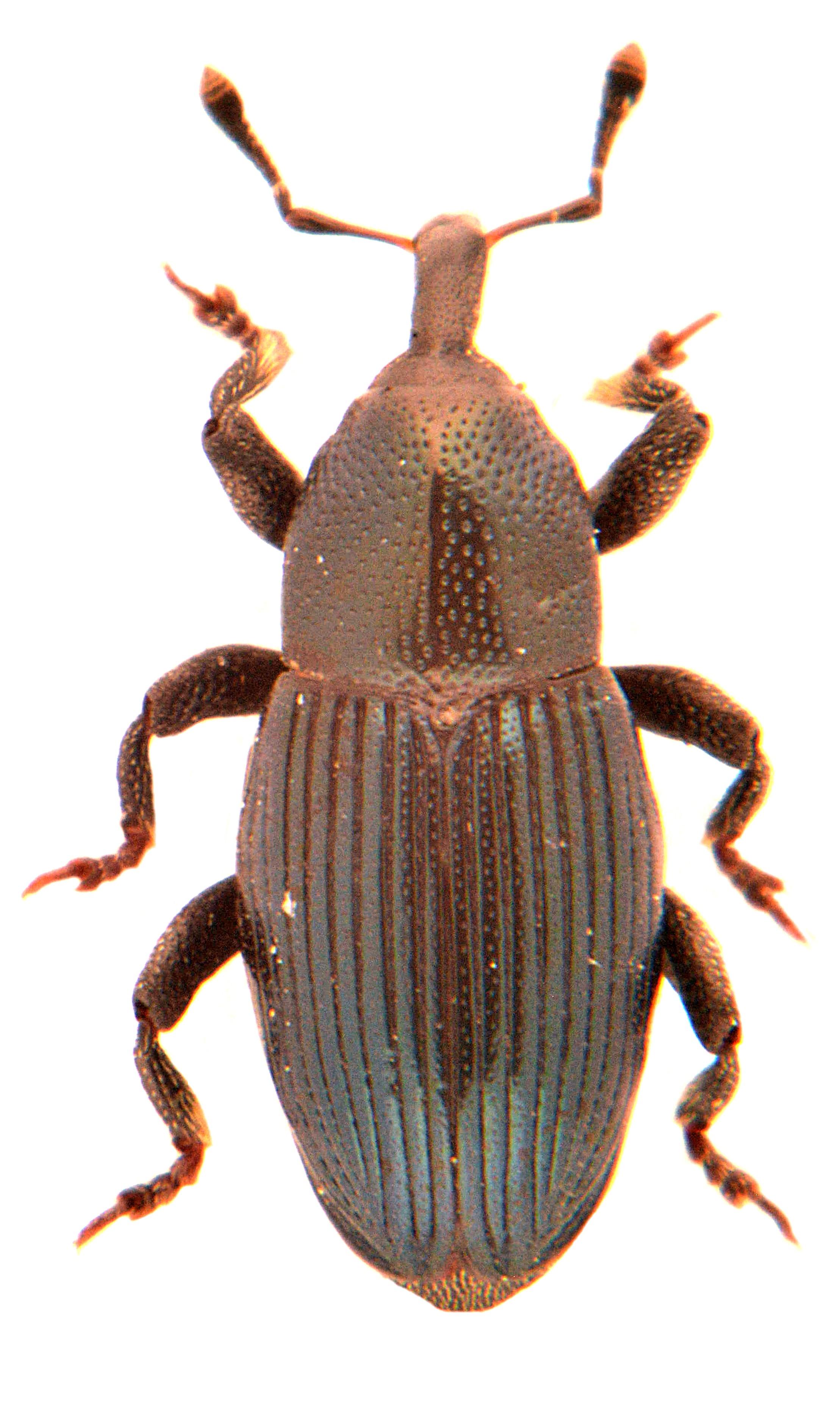 Aulacobaris lepidii