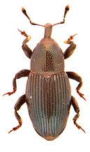 Aulacobaris lepidii 1a.jpg