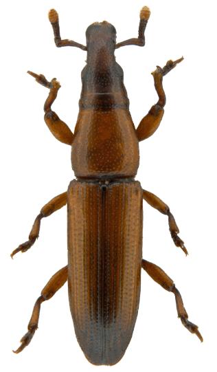 Conarthrus praeustus