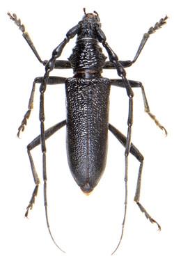 Cerambyx scopolii 3