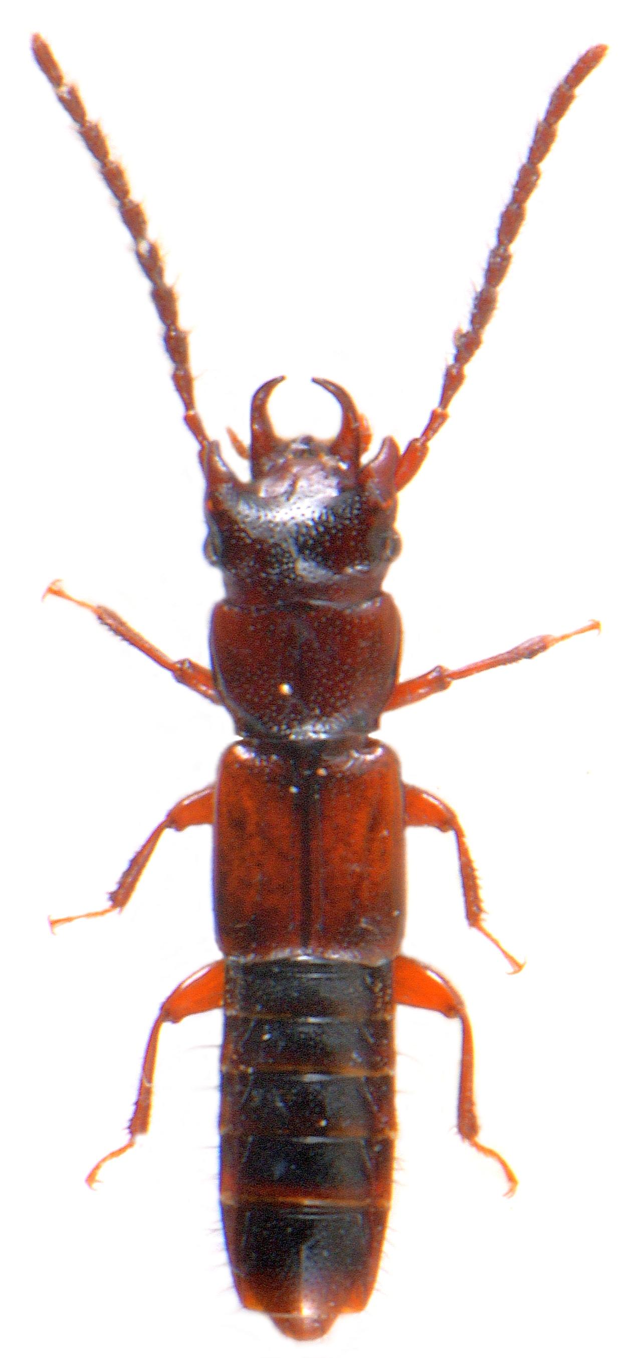 Siagonium quadricorne 1