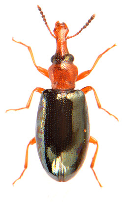 Salpingus ruficollis 1