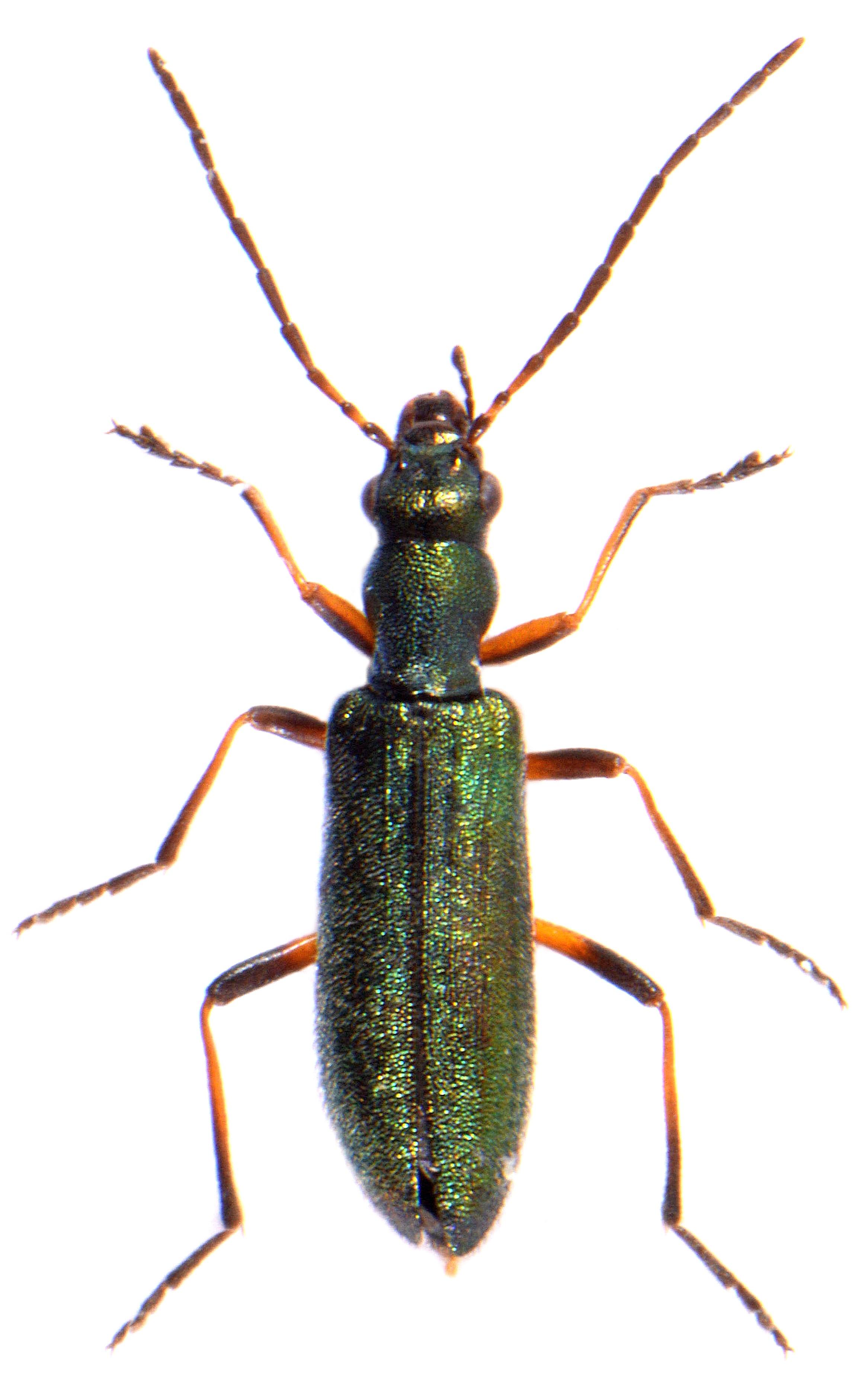 Chrysanthia nigricornis