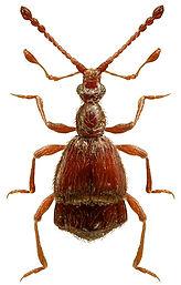 Pselaphaulax dresdensis.jpg