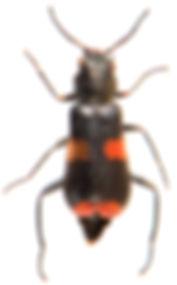 Anthocomus fasciatus 1.jpg