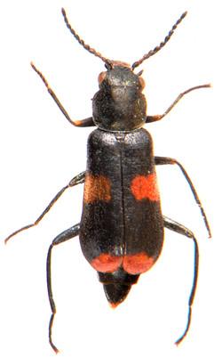 Anthocomus fasciatus 1