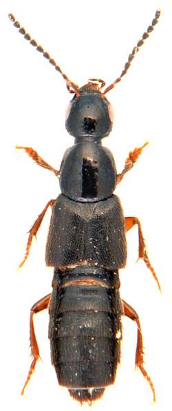 Philonthus quiquilliarius