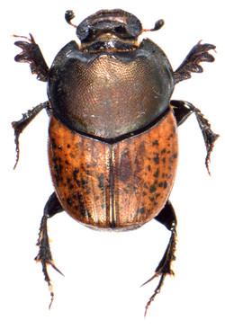 Onthophagus medius 2
