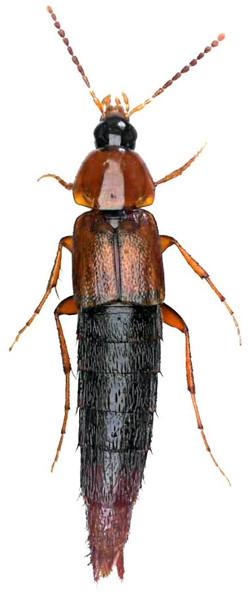 Parabolitobius inclinans