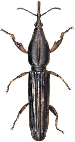 Zetophloeus brevicornis