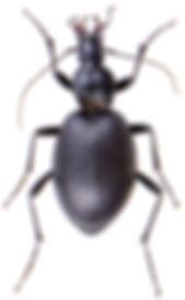 Cychrus caraboides 1.jpg