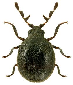 Caenocara bovistae 2