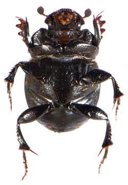 Onthophagus verticicornis 3
