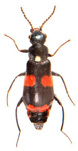 Anthocomus fasciatus 2