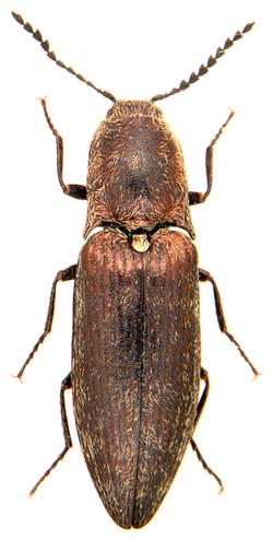 Actenicerus sjaelandicus 3