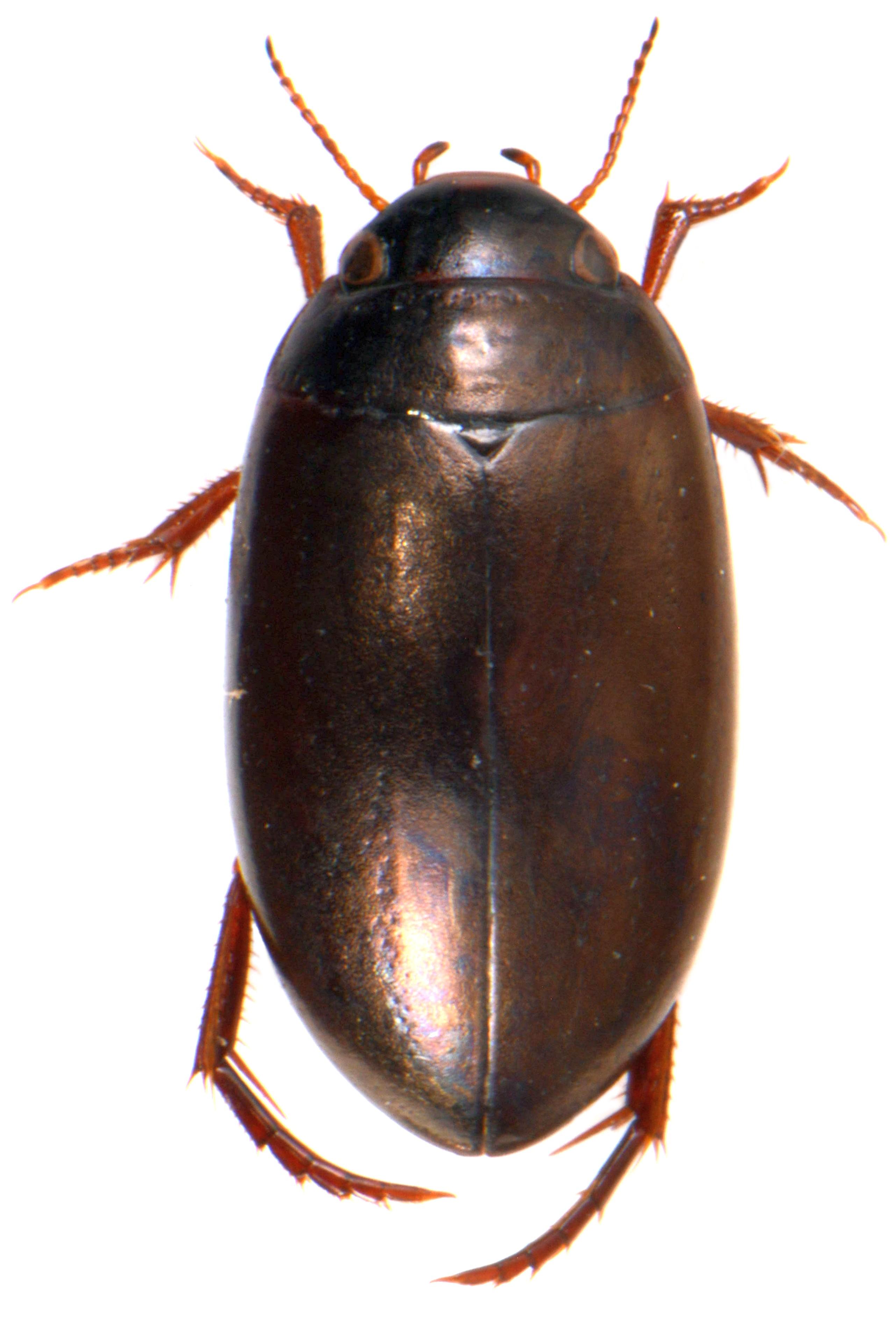 Ilybius montanus 1