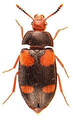 Mycetophagus quadripustulatus 3.jpg