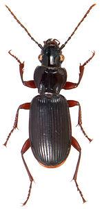Pterostichus macer 1.jpg