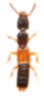 Nudobius lentus.jpg