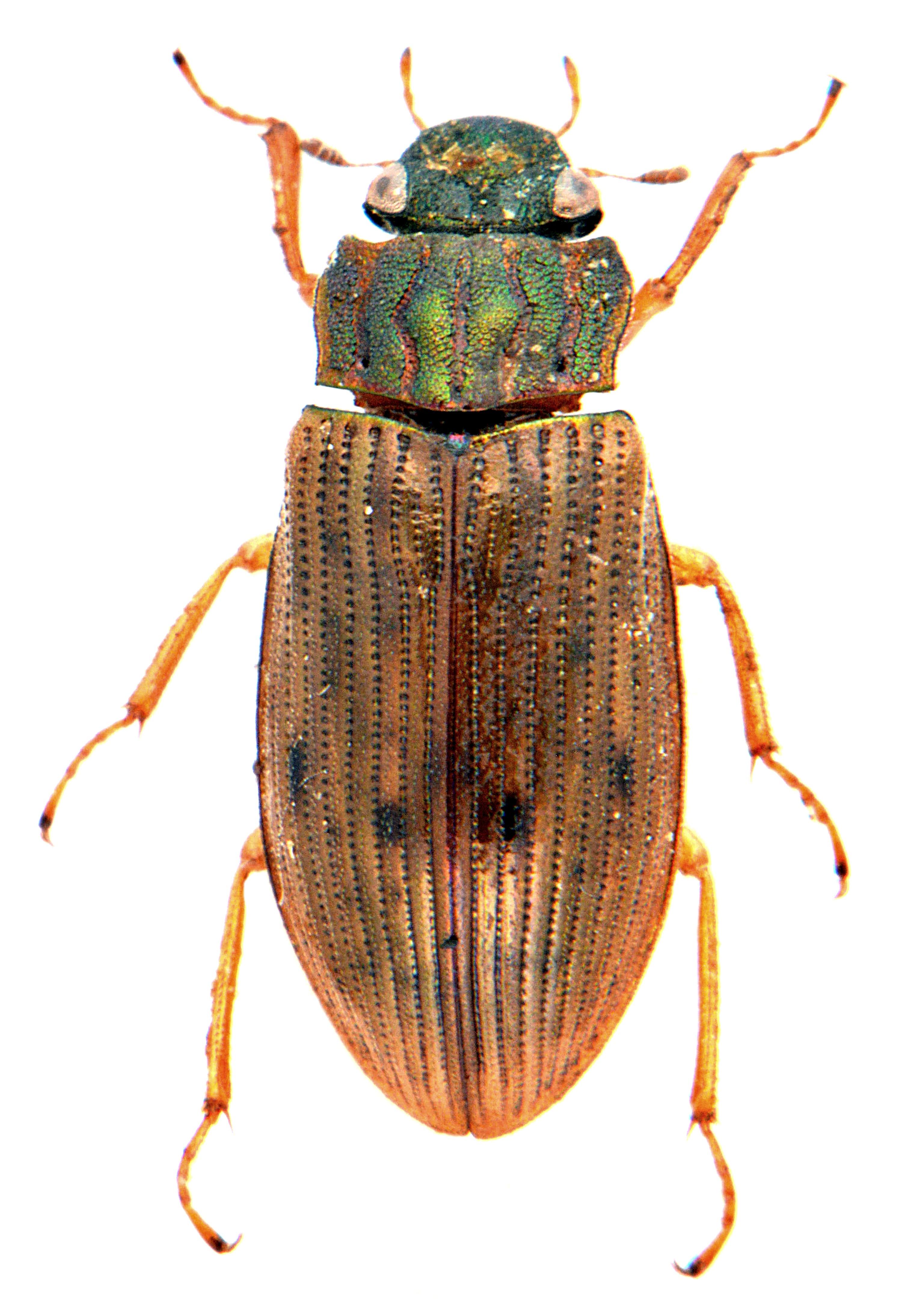 Helophorus grandis 1
