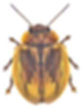 Paropsisterna selmani.jpg