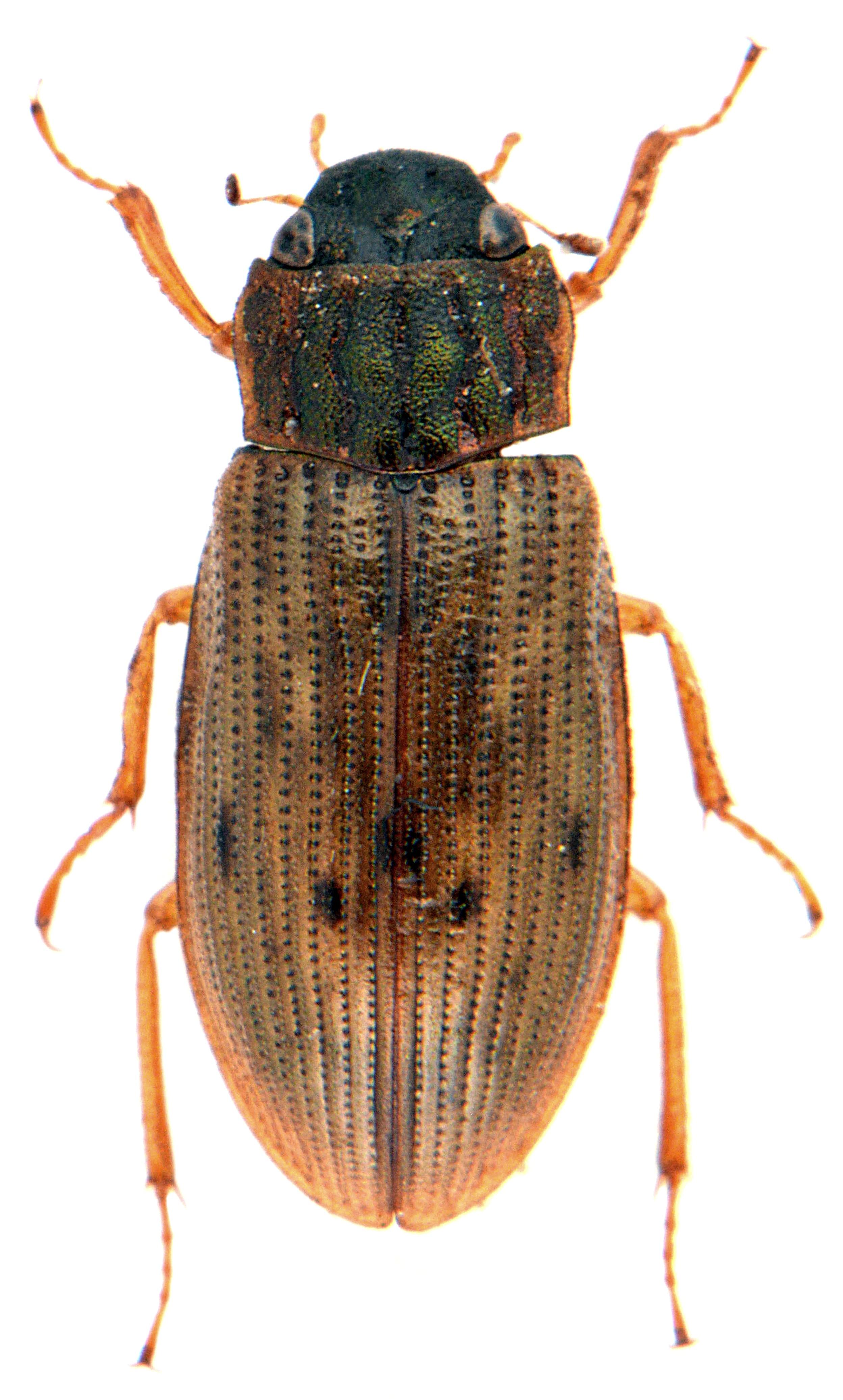 Helophorus grandis 3