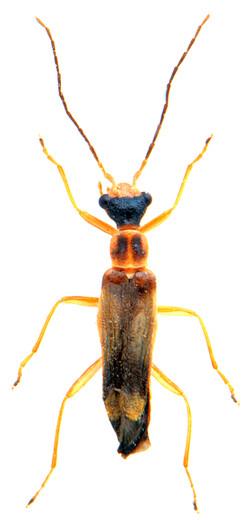 Malthinus flaveolus 2