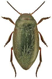 Hydroporus glabriusculus.jpg