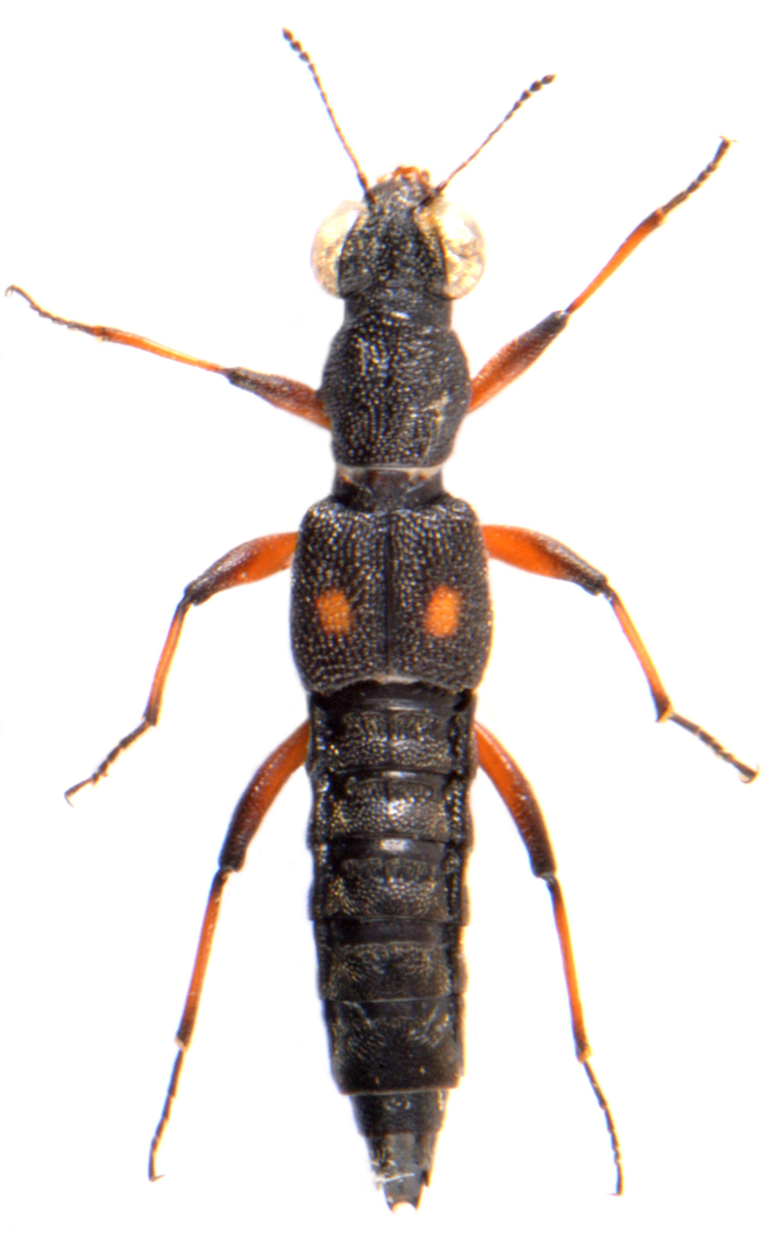 Stenus bimaculatus 1