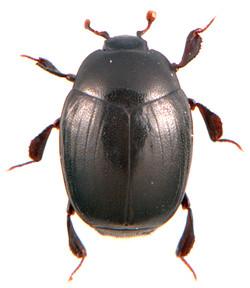 Dendrophilus punctatus