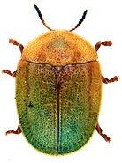 Cassida viridis 2.jpg