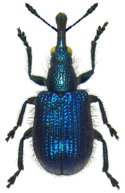 Involvulus caeruleus