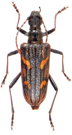 Rhagium bifasciatum 3