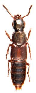Quedionuchus plagiatus 1.jpg