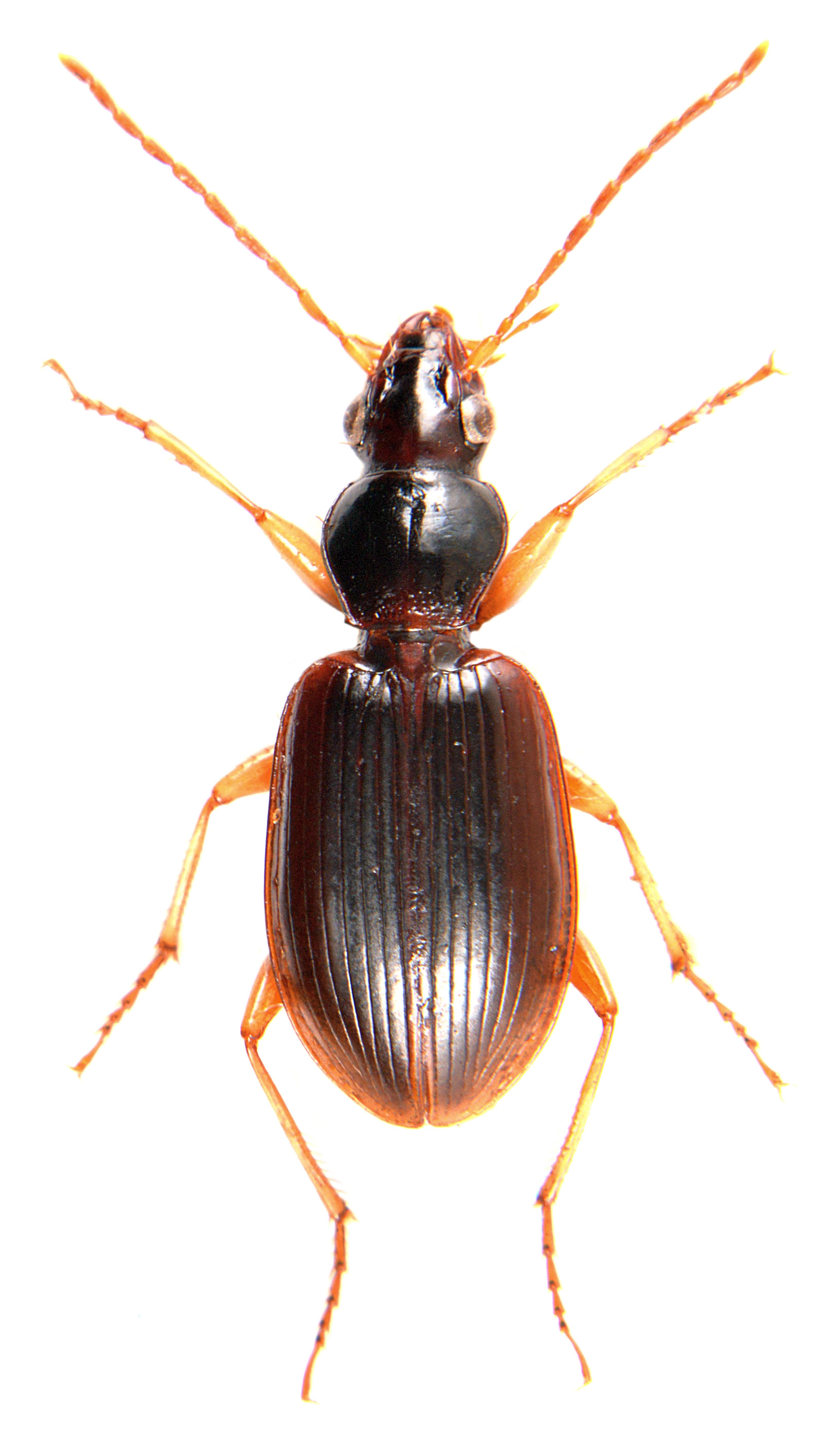 Paranchus albipes 1