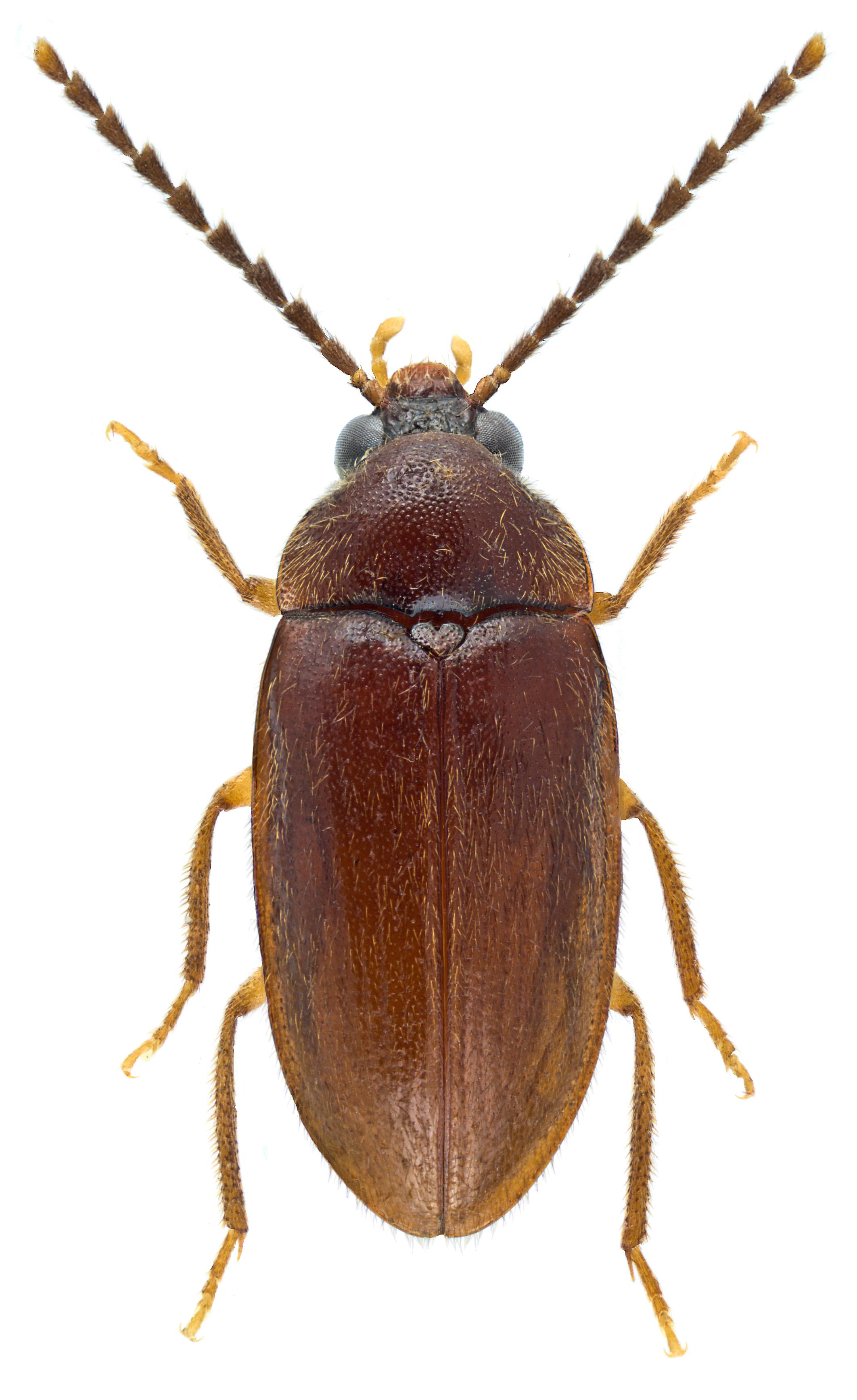Ptilodactyla exotica ♀