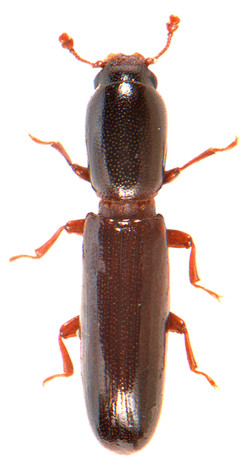Teredus cylindricus 2