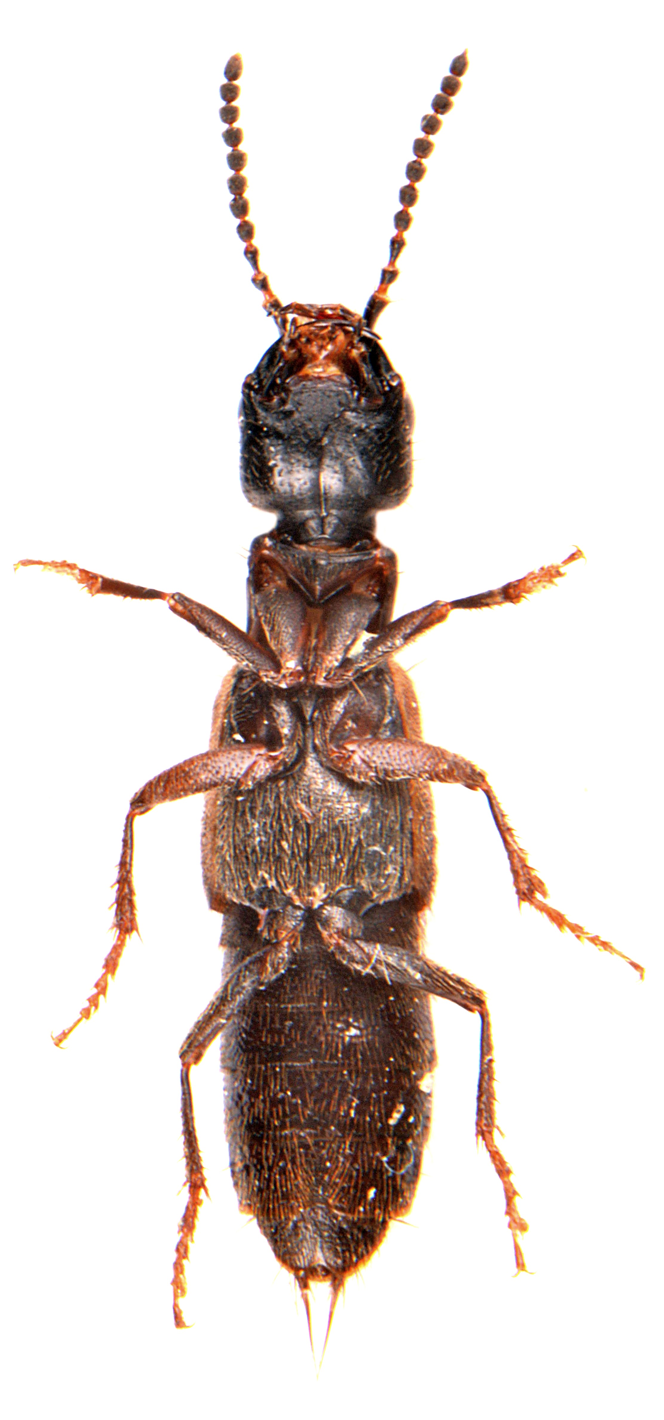 Cafius xantholoma 3