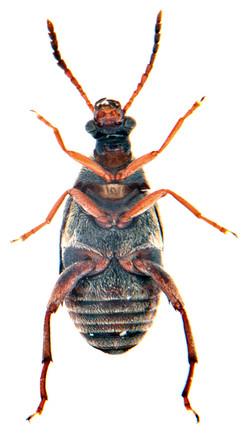 Callosobruchus maculatus 4