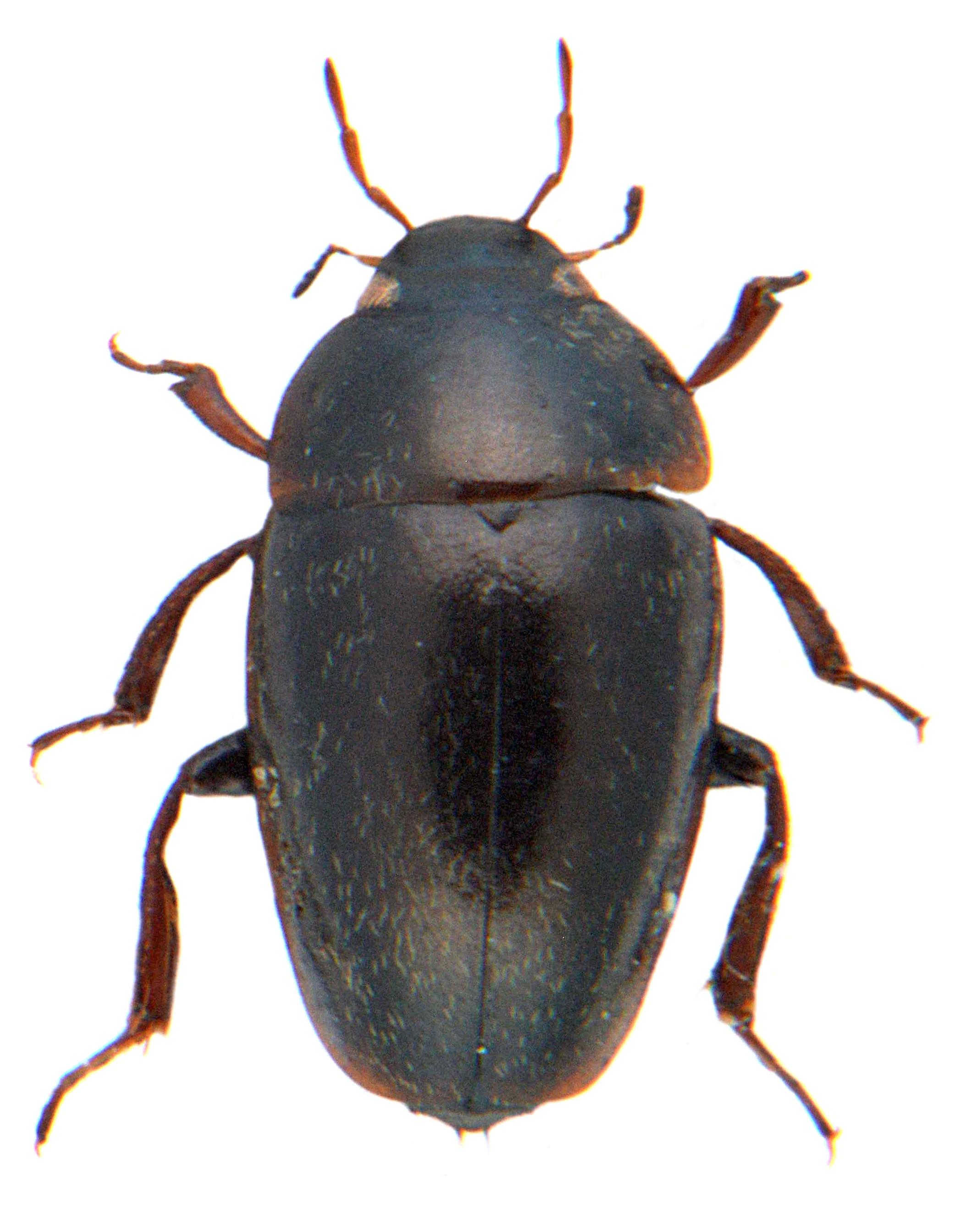 Limnebius truncatellus 3