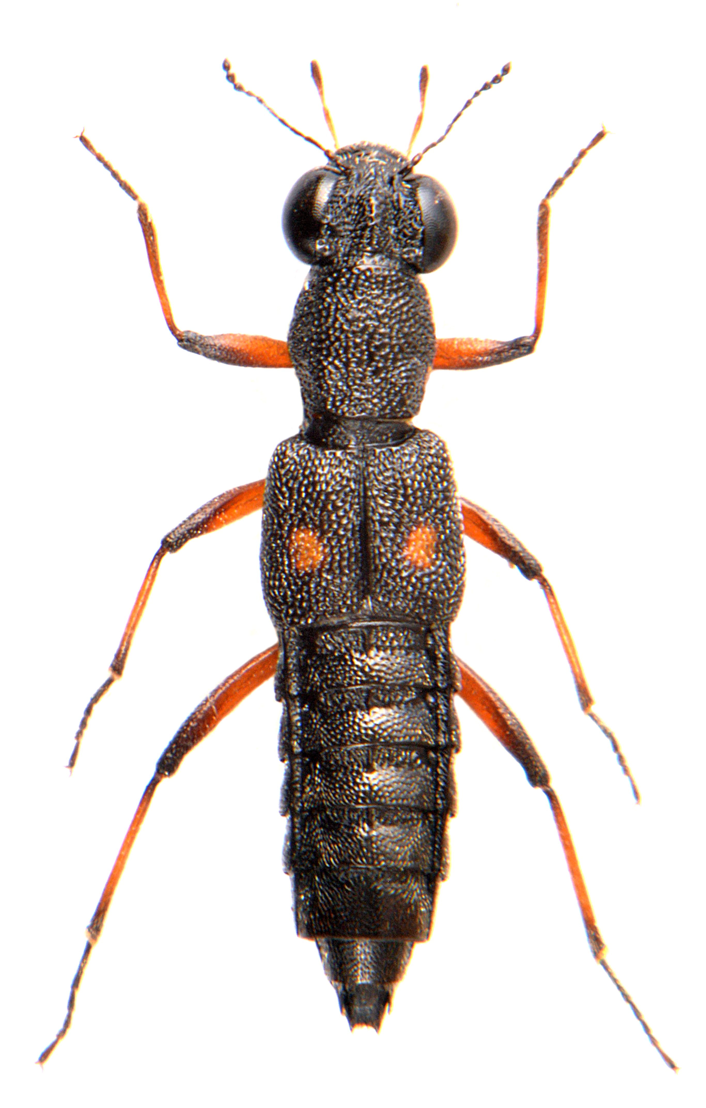Stenus bimaculatus 3