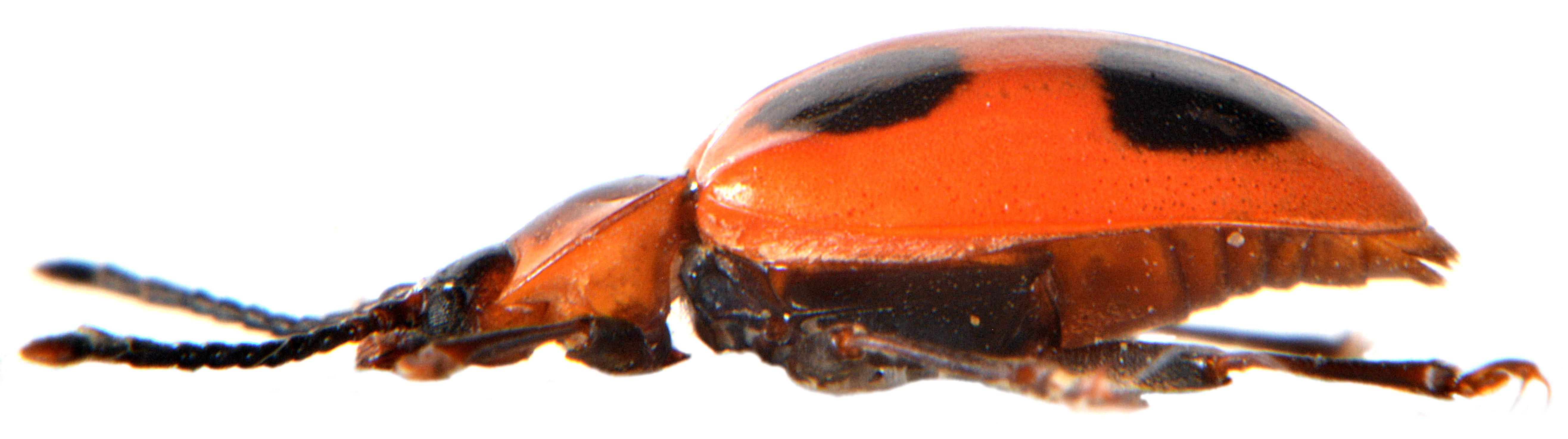 Endomychus coccineus 5