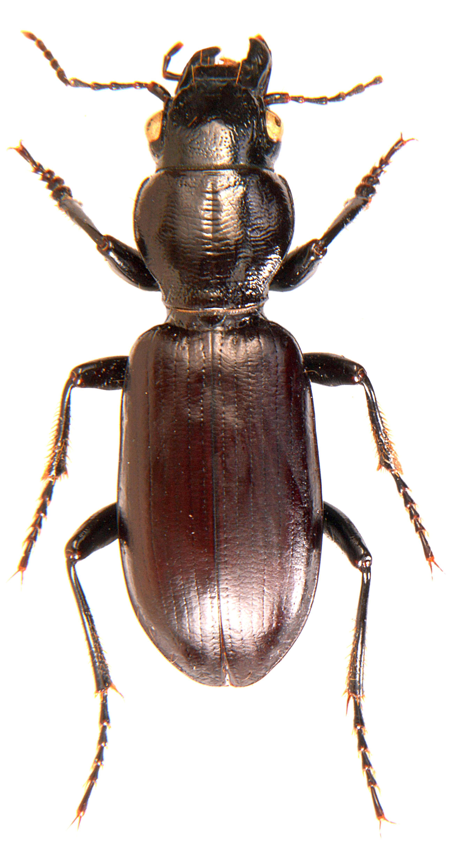 Broscus cephalotes 3