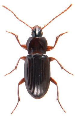 Pedius longicollis