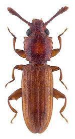 nausibius_clavicornis_1.jpg