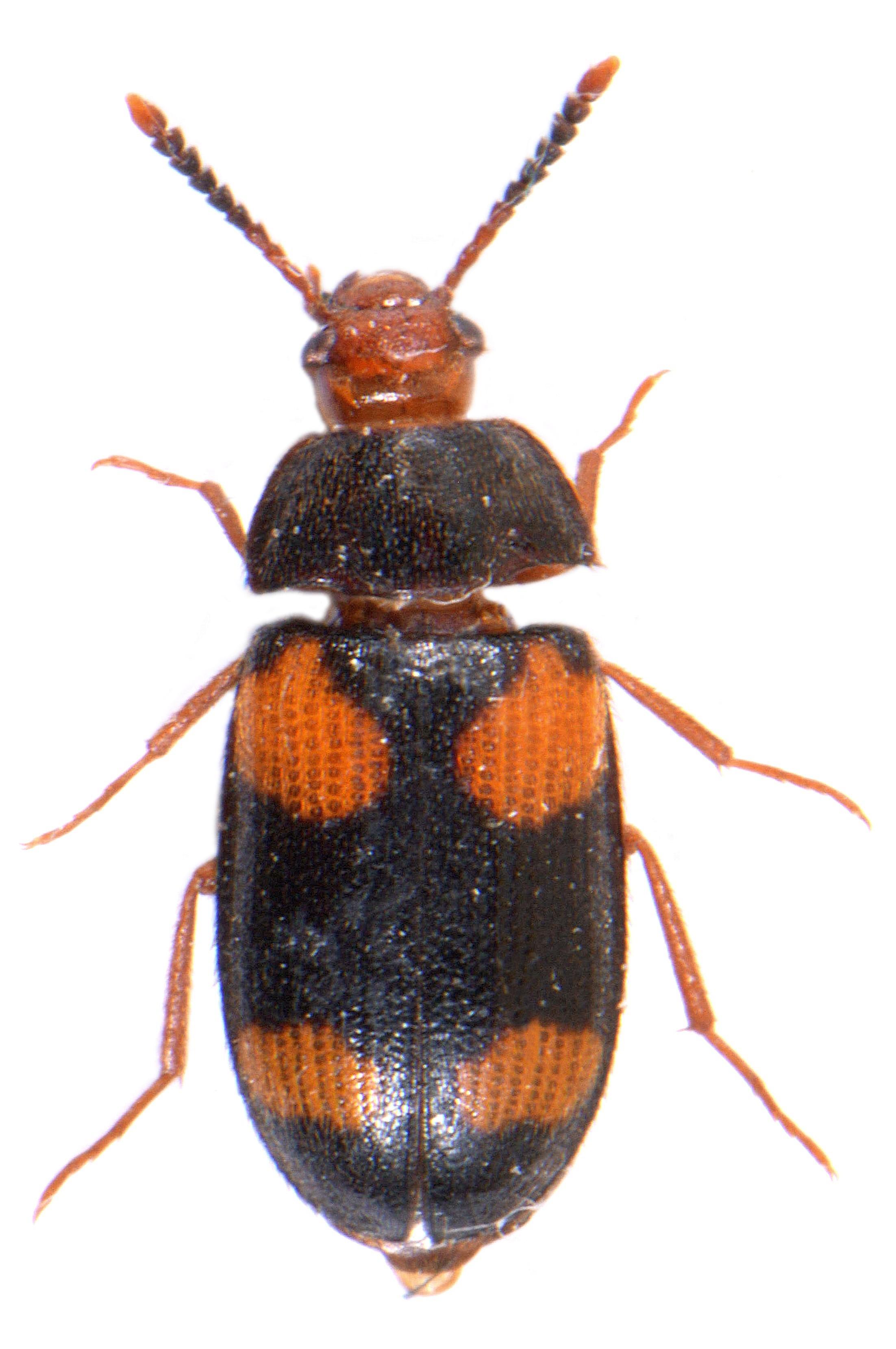 Mycetophagus quadripustulatus 5